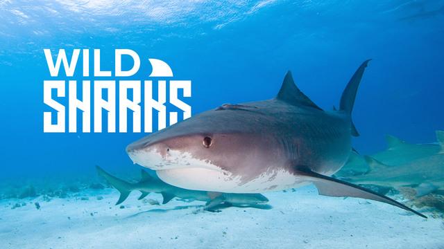 Wild Sharks