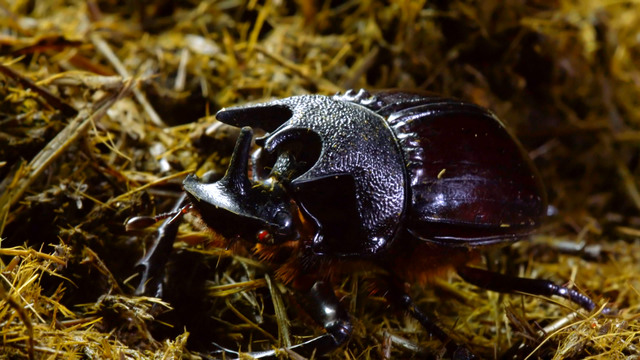Dung Beetles: Nature's Recycler